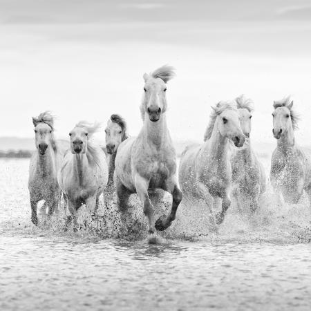 White horses of the Camargue running through the surf, France