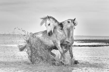 White Horses of the Camargue sparring on the beach