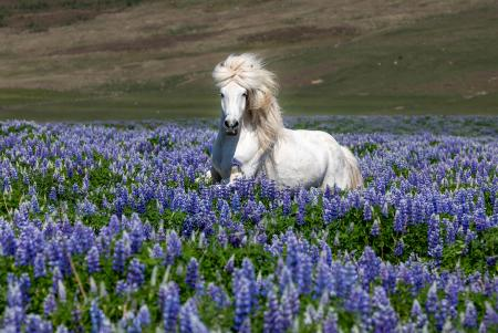 White horse in the lupins