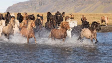 Icelandic horses on the charge