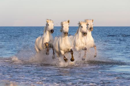 Clean white horses