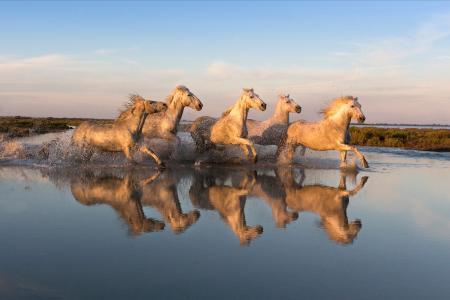 Reflected white horses