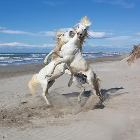 White Horses of the Camargue sparring on the beach, France