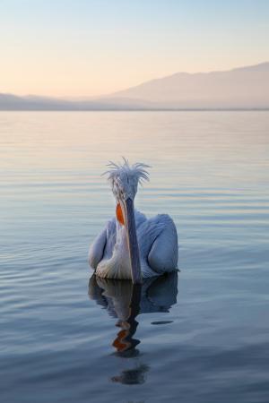 Scruffy pelican