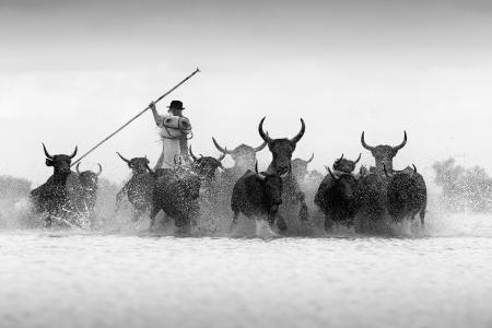 A guardian herds black bulls in the Camargue, France