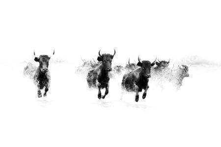 Black bulls run through a lake in the Camargue, france