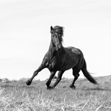 Iceland, Akureyri, a brown Icelandic stallion runs free