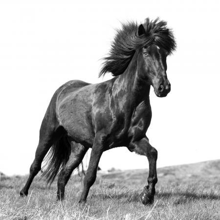 A brown Icelandic stallion runs free in North Iceland