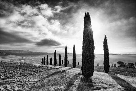 Rows of backlit cypress trees, Val d'Orcia, Italy