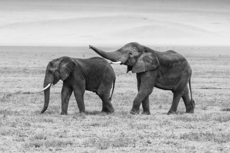 Elephants in Ngorongoro Crater, Tanzania