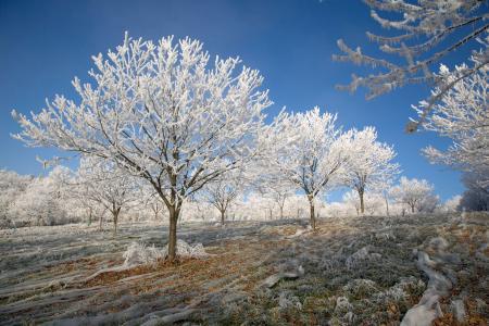 Walnut trees in the winter, Correze, France
