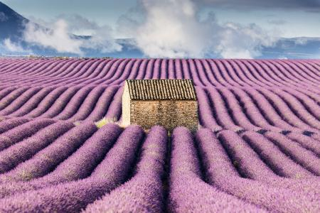Hut in a lavender field, Provence, France