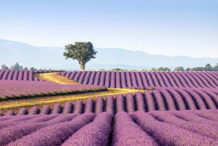Solitary tree in a field of lavender, Provence, France