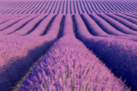 Lavender fields, Plateau de Valensole, Provence, France