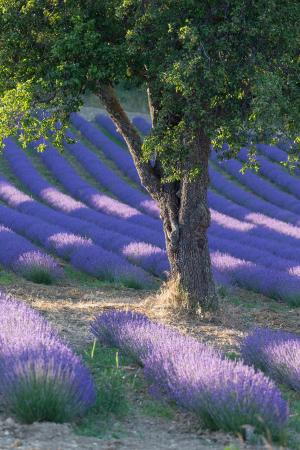 Tree in a lavender field, Provence, France