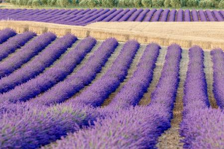 Rows of lavender and wheat, Plateau de Valensole, Provence, France