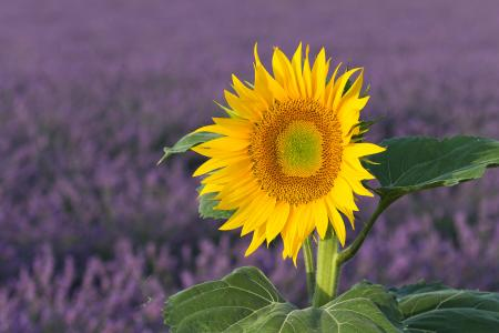 Sunflower and lavender, Provence, France