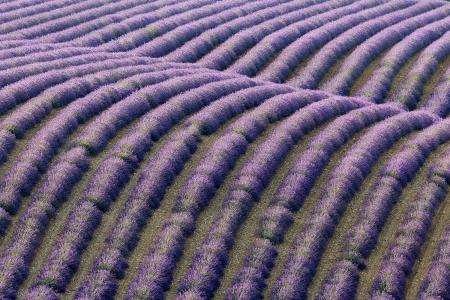 A pattern of lavender, Plateau de Valensole, Provence, France