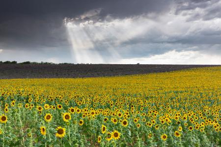 Sunflowers, Plateau de Valensole, Provence, France