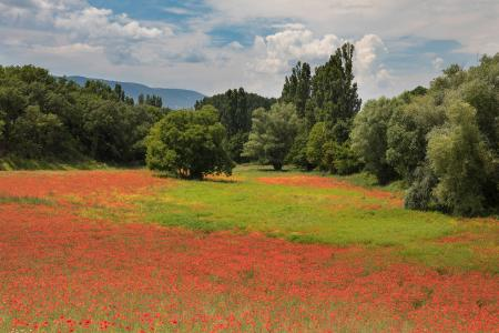 Field of poppies, Provence, France