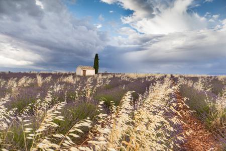 A hut surrounded by lavender, Plateau de Valensole, Provence, France