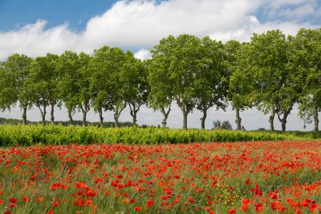 Avenue of plain trees and poppies, Provence, France