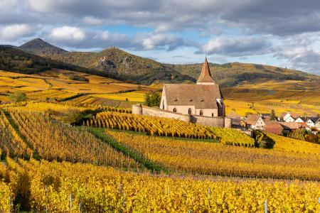 Saint-Jacques-le-Majeur church surrounded by vines in the autumn, Hunawihr