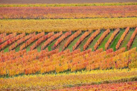 Vineyards in autumn colour, Beaune, Burgundy, France