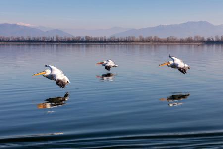 Gliding pelicans