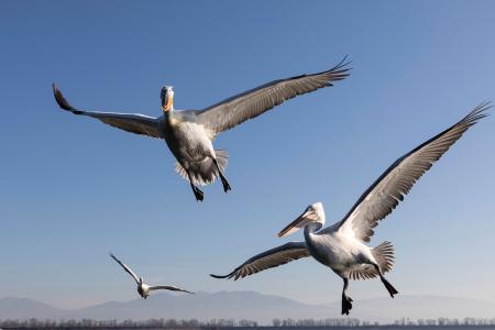 Hovering pelicans