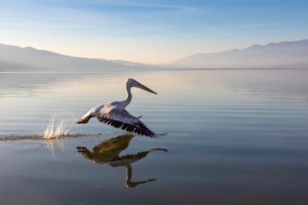 Skimming pelican