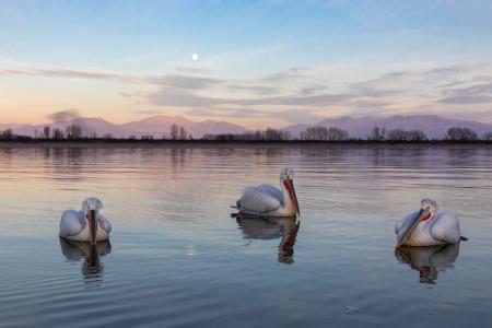 Moonlit pelicans