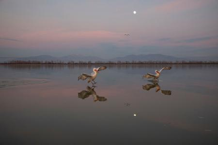 Synchronised Pelicans