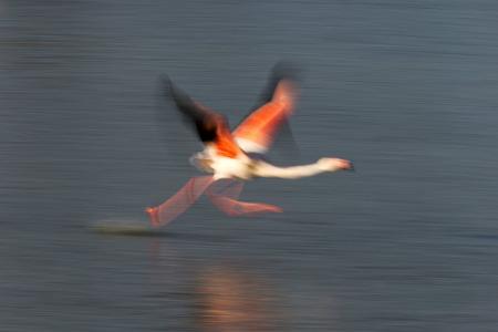 Blurred flamingo