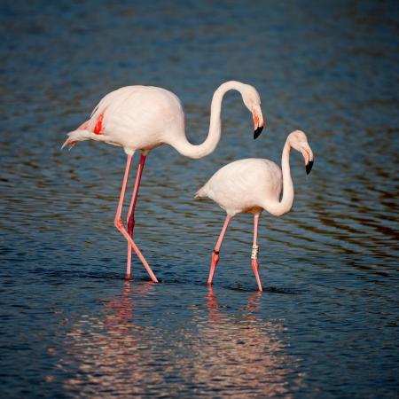 Serene pink flamingos