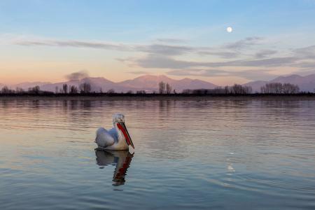 Pelican at moonrise