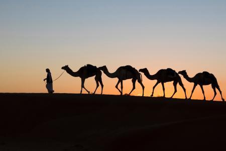 Black camels